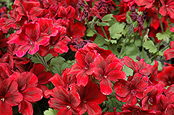 Aristo Velvet Red Geranium (Pelargonium 'Aristo Velvet Red') at Make It Green Garden Centre