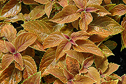 Rustic Orange Coleus (Solenostemon scutellarioides 'Rustic Orange') at Make It Green Garden Centre
