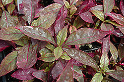 Brazilian Red Hots Alternanthera (Alternanthera dentata 'Brazilian Red Hots') at Make It Green Garden Centre