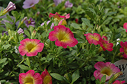 Superbells® Sweet Tart Calibrachoa (Calibrachoa 'Superbells Sweet Tart') at Make It Green Garden Centre