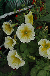 Supertunia® Citrus Petunia (Petunia 'Supertunia Citrus') at Make It Green Garden Centre
