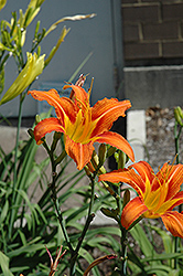 Orange Daylily (Hemerocallis fulva) at Make It Green Garden Centre