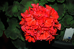 Survivor Coral Geranium (Pelargonium 'Survivor Coral') at Make It Green Garden Centre