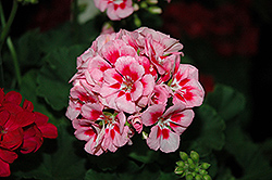 Survivor Pink Mega Splash Geranium (Pelargonium 'Survivor Pink Mega Splash') at Make It Green Garden Centre