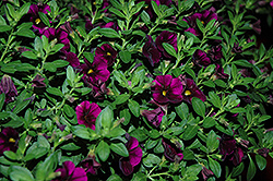 Aloha Kona Midnight Purple Calibrachoa (Calibrachoa 'Aloha Kona Midnight Purple') at Make It Green Garden Centre