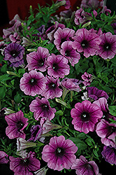 Surprise Grape Petunia (Petunia 'Surprise Grape') at Make It Green Garden Centre