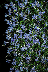 Bella Aqua Lobelia (Lobelia erinus 'Bella Aqua') at Make It Green Garden Centre