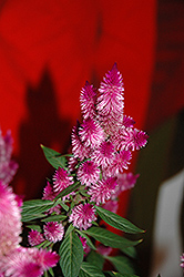 Kelos® Purple Celosia (Celosia 'Kelos Purple') at Make It Green Garden Centre