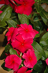 Vitesse Red Vinca (Catharanthus roseus 'Vitesse Red') at Make It Green Garden Centre