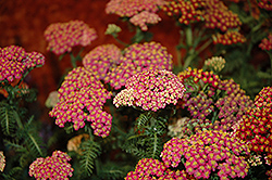 New Vintage Rose Yarrow (Achillea millefolium 'Balvinrose') at Make It Green Garden Centre