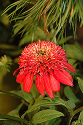 Double Scoop™ Cranberry Coneflower (Echinacea 'Balscanery') at Make It Green Garden Centre