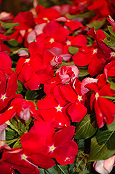 Cora® Red Vinca (Catharanthus roseus 'Cora Red') at Make It Green Garden Centre