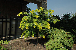 Hearts of Gold Redbud (Cercis canadensis 'Hearts of Gold') at Make It Green Garden Centre