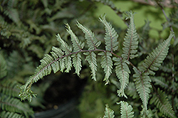 Applecourt Painted Fern (Athyrium nipponicum 'Applecourt') at Make It Green Garden Centre