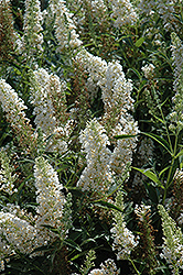 Buzz Ivory Butterfly Bush (Buddleia 'Tobuivo') at Make It Green Garden Centre