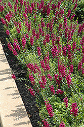 Archangel™ Raspberry Angelonia (Angelonia angustifolia 'Archangel Raspberry') at Make It Green Garden Centre