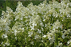 Honeycomb Hydrangea (Hydrangea paniculata 'Levana') at Make It Green Garden Centre