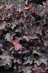 Carnival Plum Crazy Coral Bells (Heuchera 'Plum Crazy') at Make It Green Garden Centre