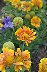 Mesa Peach Blanket Flower (Gaillardia x grandiflora 'Mesa Peach') at Make It Green Garden Centre