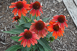 Sombrero® Flamenco Orange Coneflower (Echinacea 'Balsomenco') at Make It Green Garden Centre