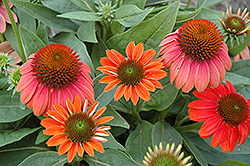Sombrero® Hot Coral Coneflower (Echinacea 'Balsomcor') at Make It Green Garden Centre