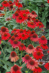 Sombrero® Salsa Red Coneflower (Echinacea 'Balsomsed') at Make It Green Garden Centre