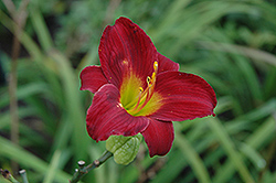 Stella In Red Daylily (Hemerocallis 'Stella In Red') at Make It Green Garden Centre