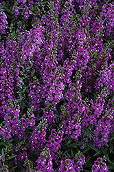 Serena® Purple Angelonia (Angelonia angustifolia 'Serena Purple') at Make It Green Garden Centre