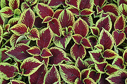 Kong Jr. Scarlet Coleus (Solenostemon scutellarioides 'Kong Jr. Scarlet') at Make It Green Garden Centre
