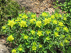 Cushion Spurge (Euphorbia epithymoides) at Make It Green Garden Centre