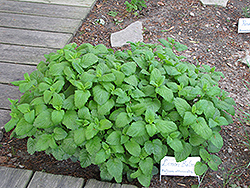 Lemon Balm (Melissa officinalis) at Make It Green Garden Centre