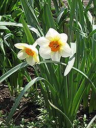 Barrett Browning Daffodil (Narcissus 'Barrett Browning') at Make It Green Garden Centre