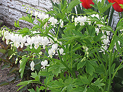 White Bleeding Heart (Dicentra spectabilis 'Alba') at Make It Green Garden Centre