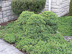 Dwarf Japgarden Juniper (Juniperus procumbens 'Nana') at Make It Green Garden Centre