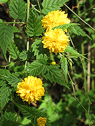 Double Flowered Japanese Kerria (Kerria japonica 'Pleniflora') at Make It Green Garden Centre