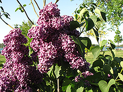 Monge Lilac (Syringa vulgaris 'Monge') at Make It Green Garden Centre
