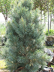 Vanderwolf's Pyramid Pine (Pinus flexilis 'Vanderwolf's Pyramid') at Make It Green Garden Centre