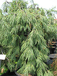 Weeping White Pine (Pinus strobus 'Pendula') at Make It Green Garden Centre