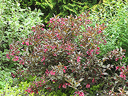Midnight Wine® Weigela (Weigela florida 'Elvera') at Make It Green Garden Centre