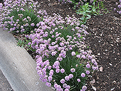 Juniper-Leaved Sea Thrift (Armeria juniperifolia) at Make It Green Garden Centre