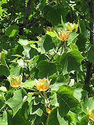 Tuliptree (Liriodendron tulipifera) at Make It Green Garden Centre