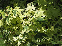 Variegated Norway Maple (Acer platanoides 'Variegatum') at Make It Green Garden Centre