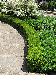 Green Velvet Boxwood (Buxus 'Green Velvet') at Make It Green Garden Centre