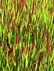 Red Baron Japanese Blood Grass (Imperata cylindrica 'Red Baron') at Make It Green Garden Centre