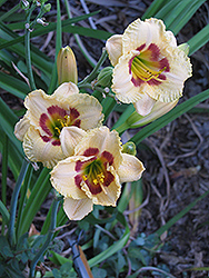 Canadian Border Patrol Daylily (Hemerocallis 'Canadian Border Patrol') at Make It Green Garden Centre