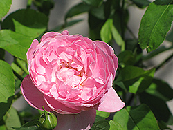 Mary Rose (Rosa 'Mary') at Make It Green Garden Centre