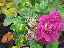 Rubra Wild Rose (Rosa rugosa 'Rubra') at Make It Green Garden Centre