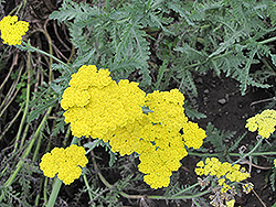 Cloth of Gold Fernleaf Yarrow (Achillea filipendulina 'Cloth of Gold') at Make It Green Garden Centre