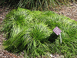 The Beatles Spring Sedge (Carex caryophyllea 'The Beatles') at Make It Green Garden Centre