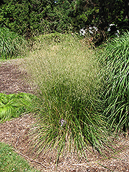 Bronzeschlier Tufted Hair Grass (Deschampsia cespitosa 'Bronzeschlier') at Make It Green Garden Centre